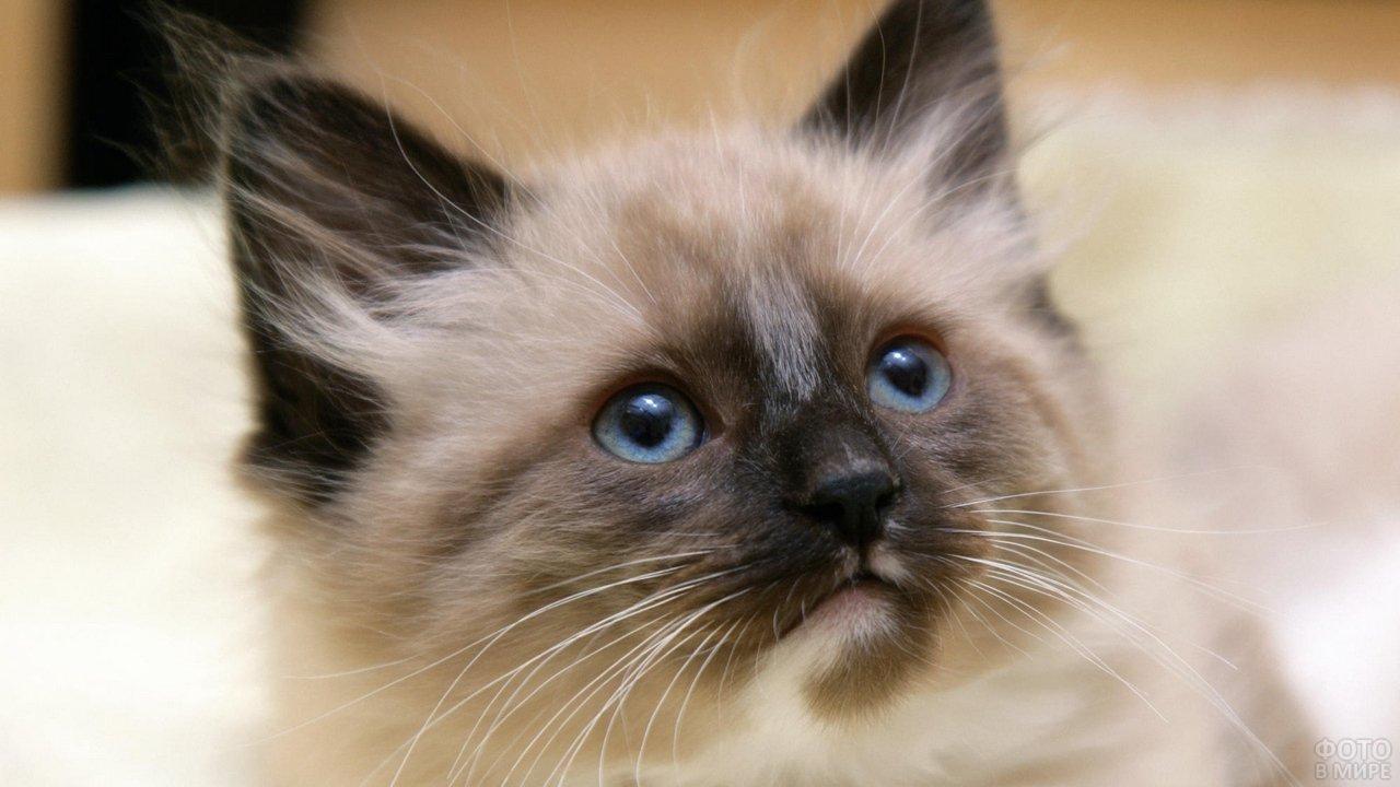 Котёнок сиамской кошки смотрит вверх