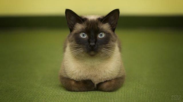 Красавец кот породы сиамская кошка позирует на камеру