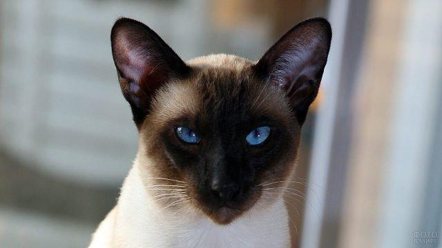 Красивая морда сиамского кота