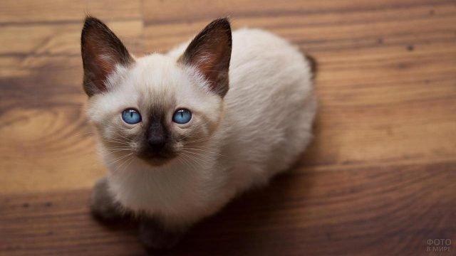 Маленькая сиамская котейка сидит на полу и смотрит вверх