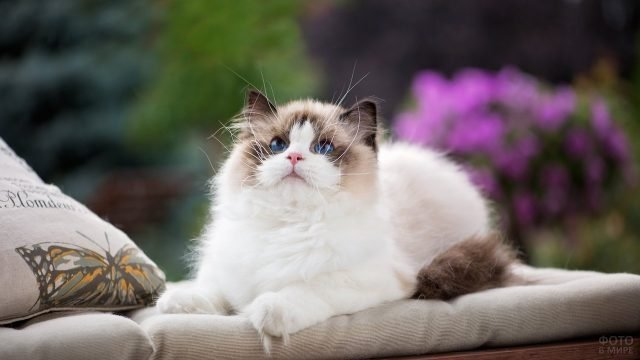 Милый котёнок сиамки лежит на подушке подняв голову вверх