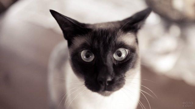 Морда сиамского кота