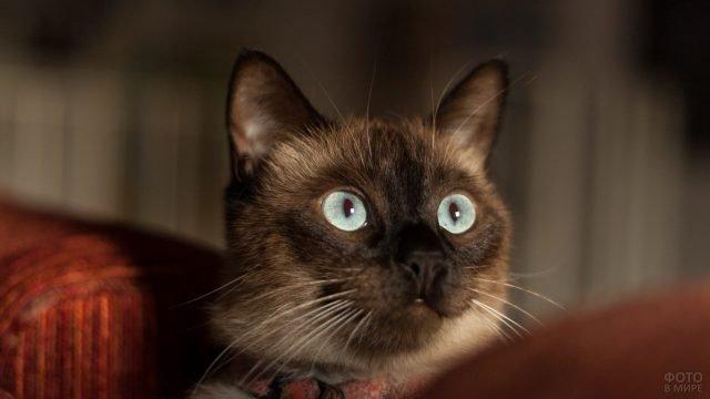 Мордаха сиамской кошки с красивыми глазами