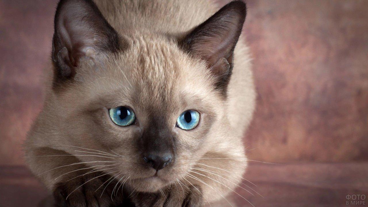 Мордочка котёнка сиамской породы