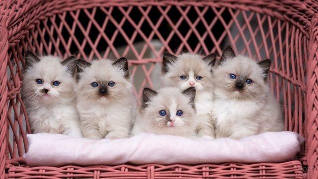 Пять котят сиамской породы сидят в плетёном кресле