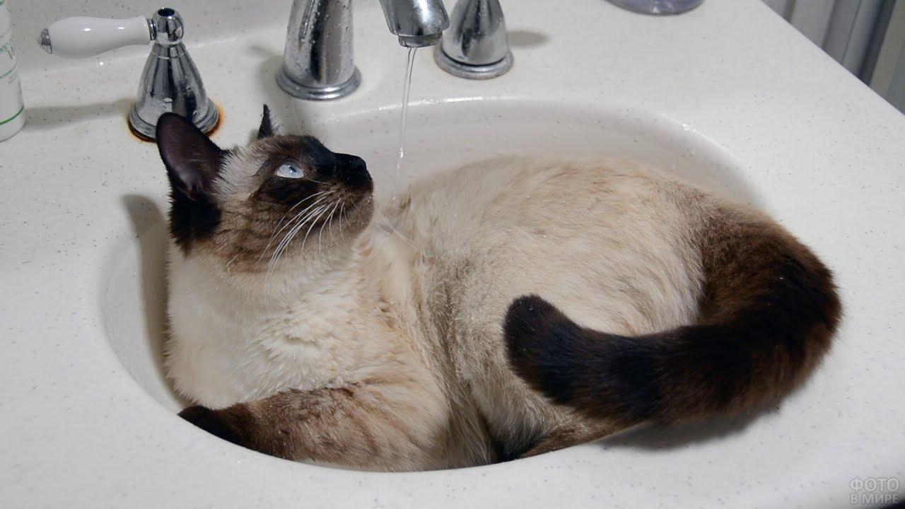 Сиамский котик лежит в раковине под струёй воды