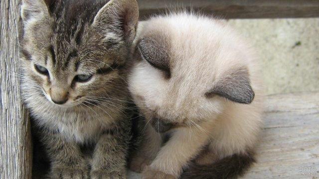 Сиамский котёнок обнимает своего друга