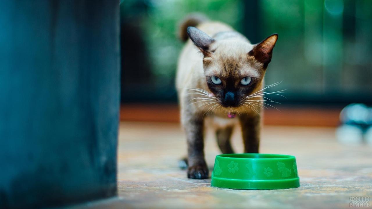 Злой голодный сиамский кот