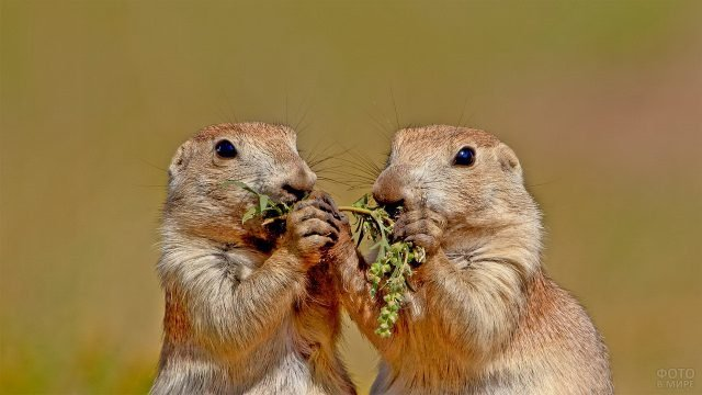 Два суслика едят одну травинку