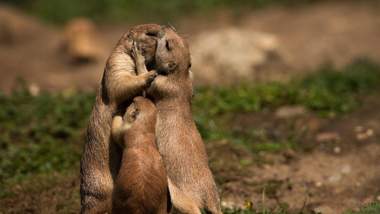 Любвеобильное семейство сусликов