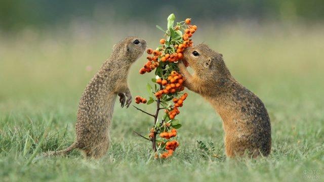 Суслики едят облепиху