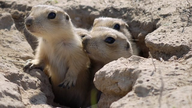 Суслики песчанники выглядывают из норки