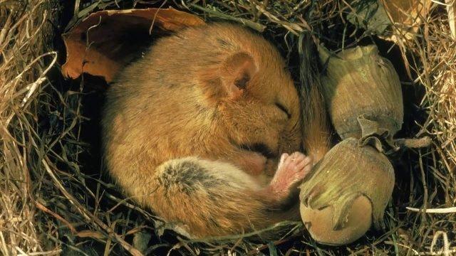 Жёлтый суслик спит в сухой траве свернувшись клубочком