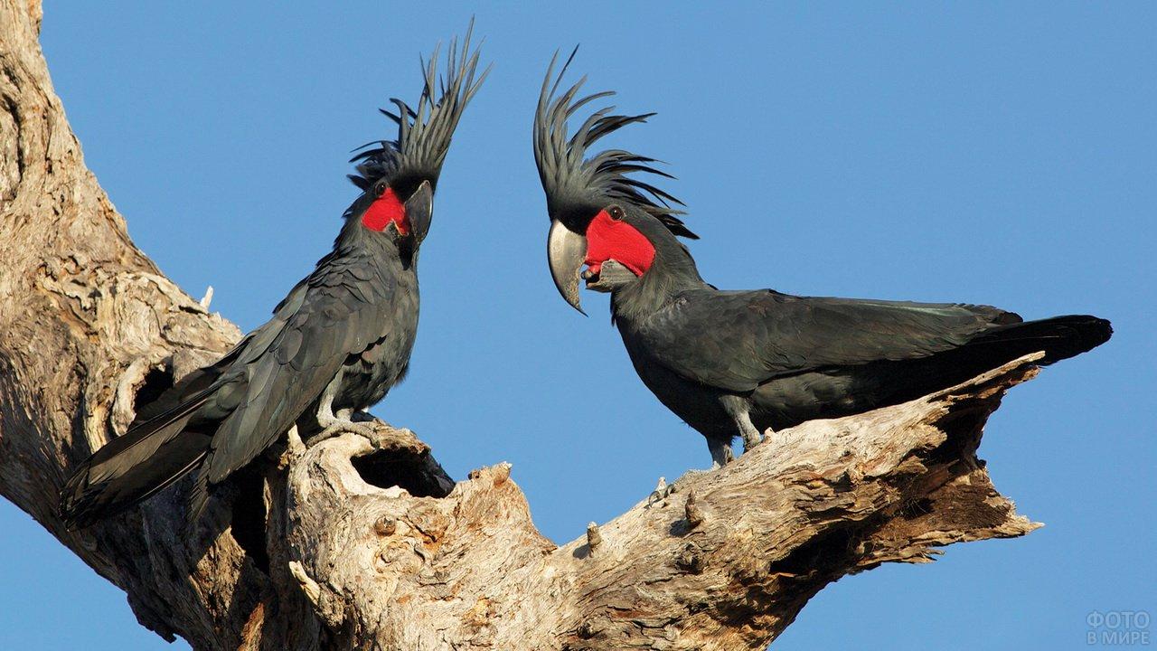 Австралийские пальмовые какаду чёрного цвета