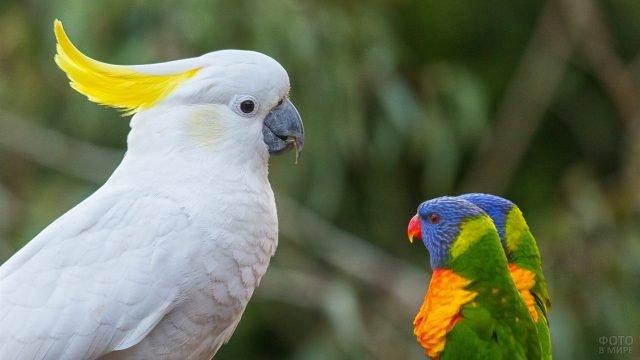 Белый какаду с двумя цветными лорикетами