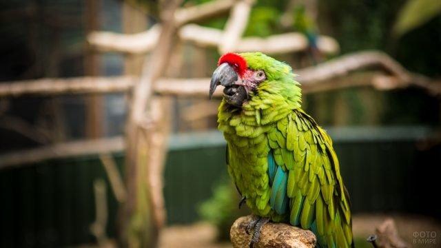 Большой солдатский попугай ара сидит на ветке