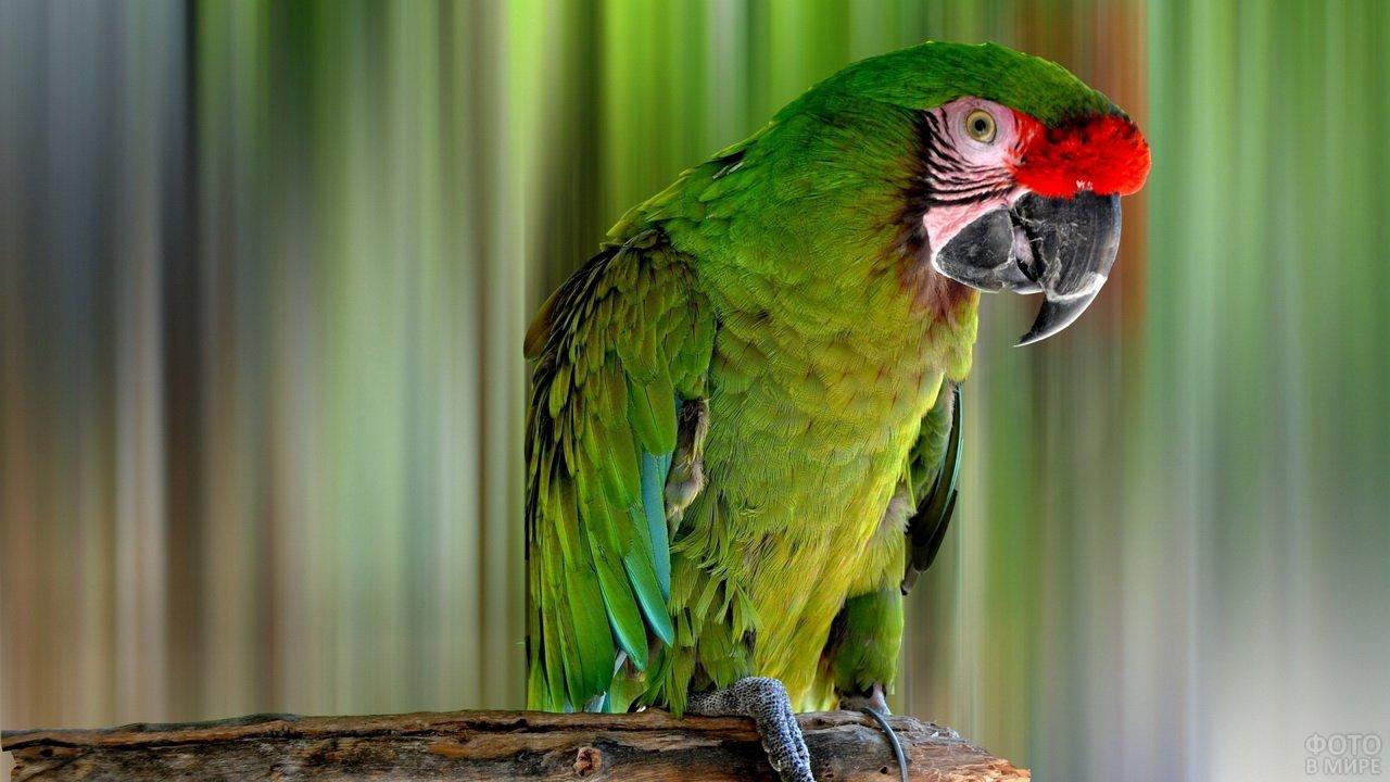 Большой зелёный попугай ара
