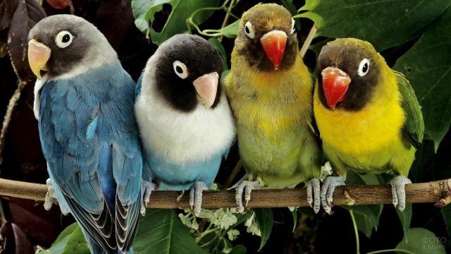 Четыре попугая неразлучника на ветке
