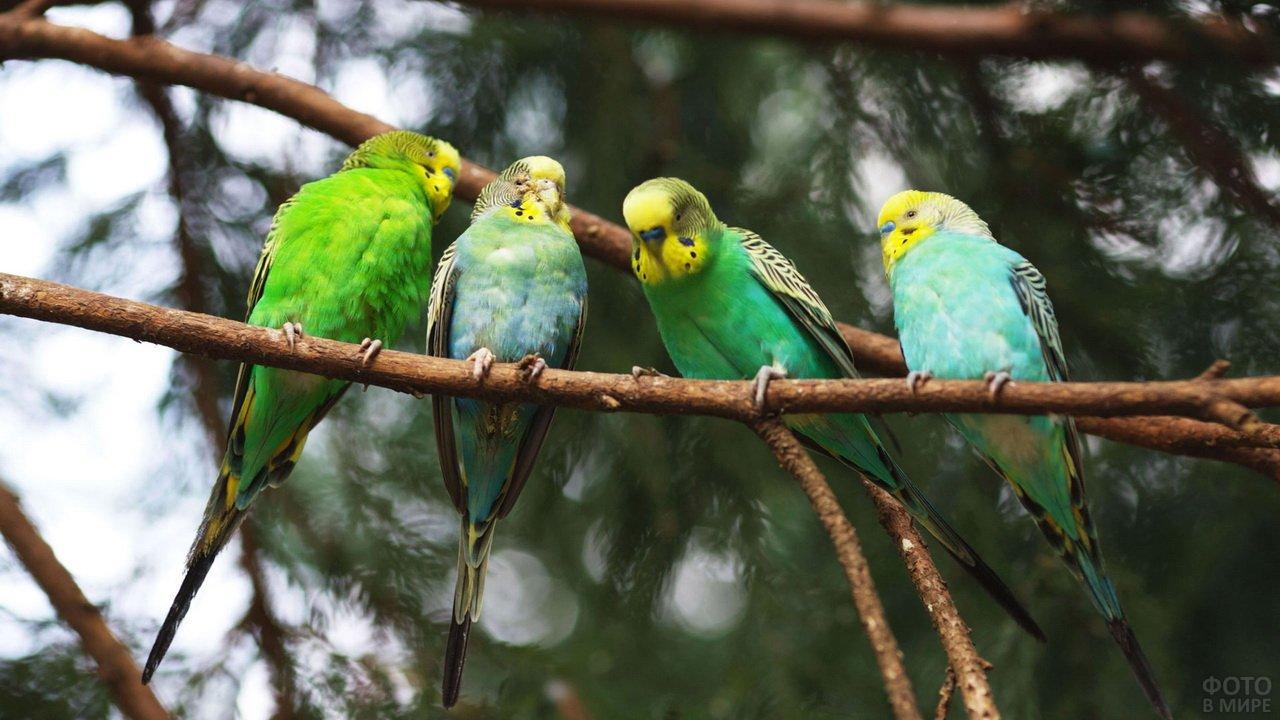 Четыре волнистый попугайчика на ветке