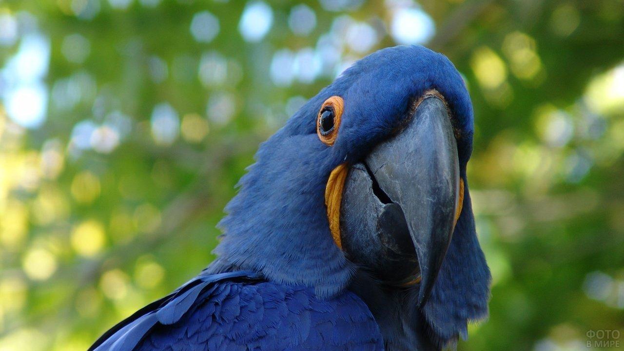 Гиацинтовый попугай ара в природе