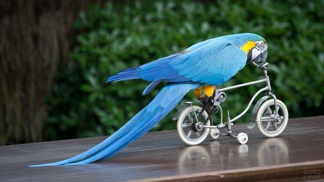 Голубой попугай ара едет на велосипеде