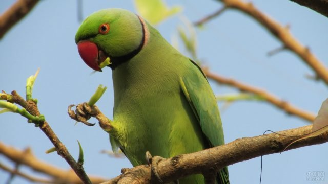 Индийский кольчатый попугай ест молодые побеги