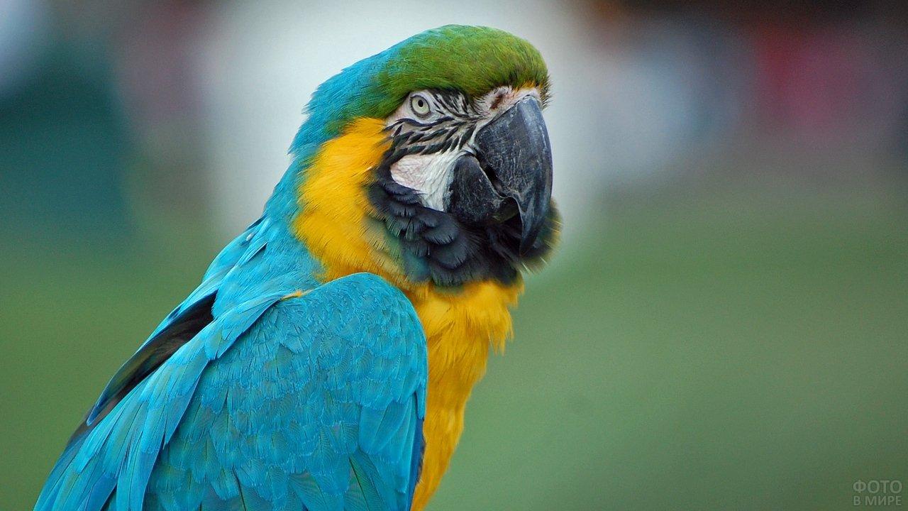 Яркий желто-голубой попугай ара в природе
