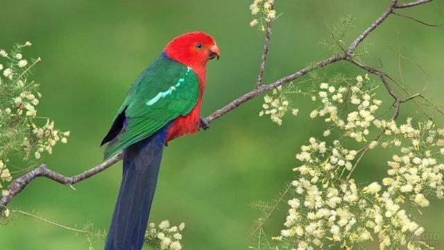 Королевский попугай сидит на ветке