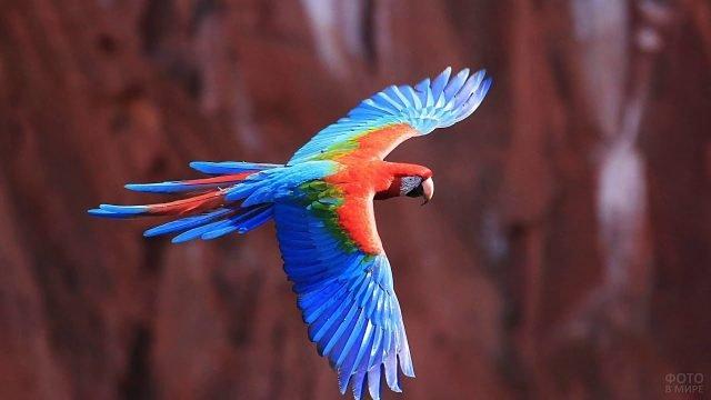 Красно-голубой попугай ара в полёте