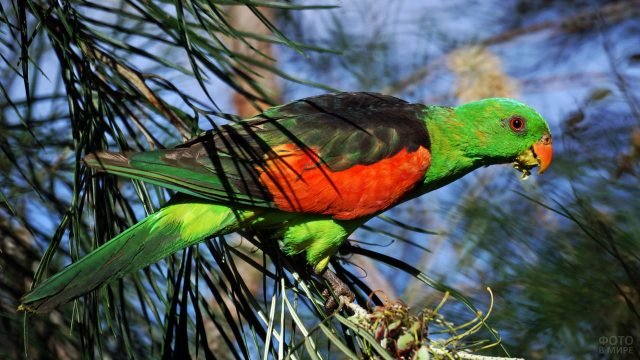 Мангровый попугай ест плоды на дереве