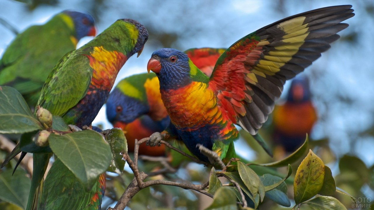 Многоцветные лорикеты на дереве