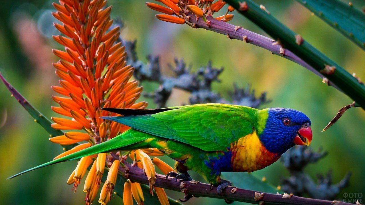 Многоцветный тропический попугай лорикет