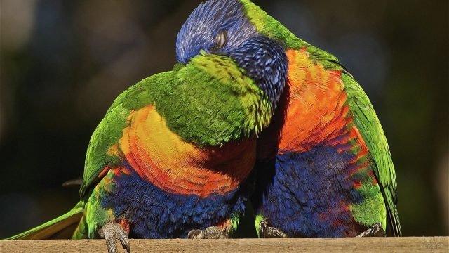 Нежный поцелуй разноцветных попугаев лорикетов