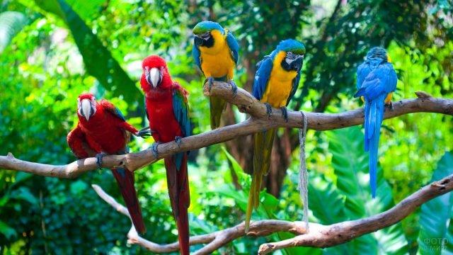 Попугаи ара сидят на ветке в джунглях