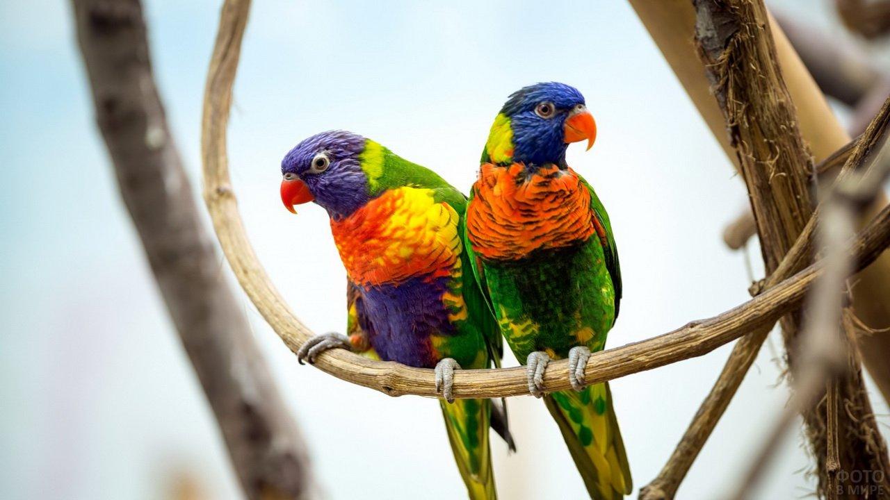 Попугайчики лорикеты на лиане