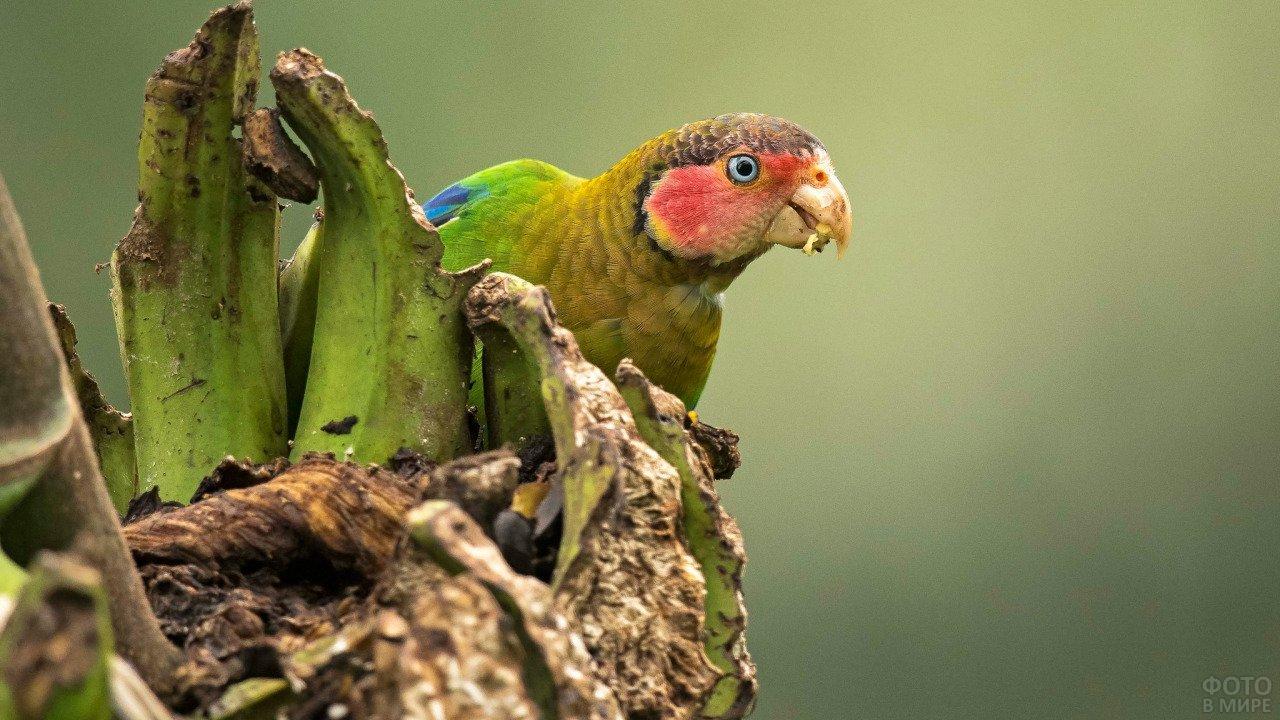 Розовощёкий попугай ест зелёный банан