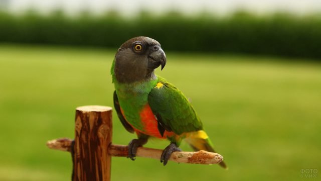 Сенегальский черноголовый длиннокрылый попугай сидит на жердочке