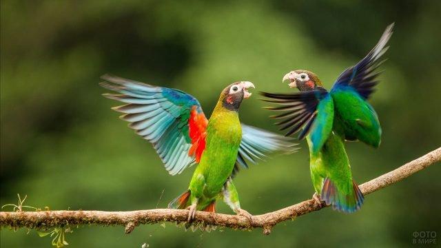 Танец попугаев неразлучников на ветке