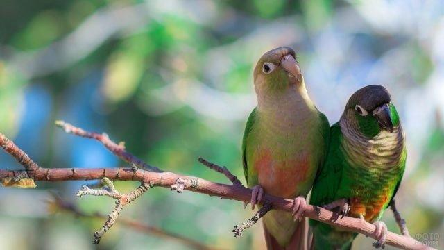Зеленощёкие попугаи сидят на ветке