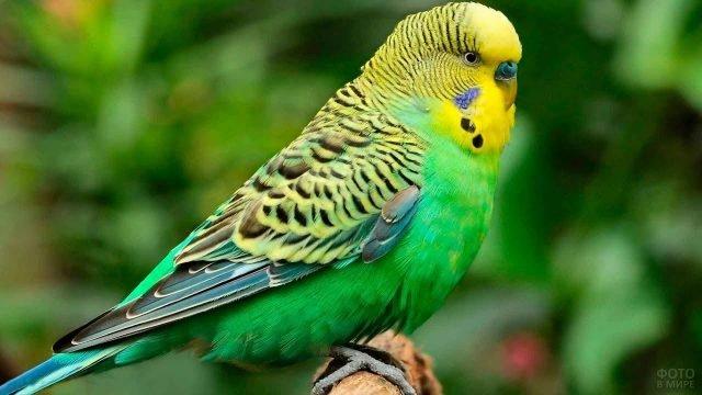 Зеленый волнистый попугай сидит на ветке