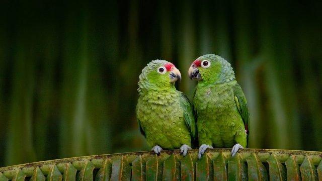 Зелёные попугаи амазон