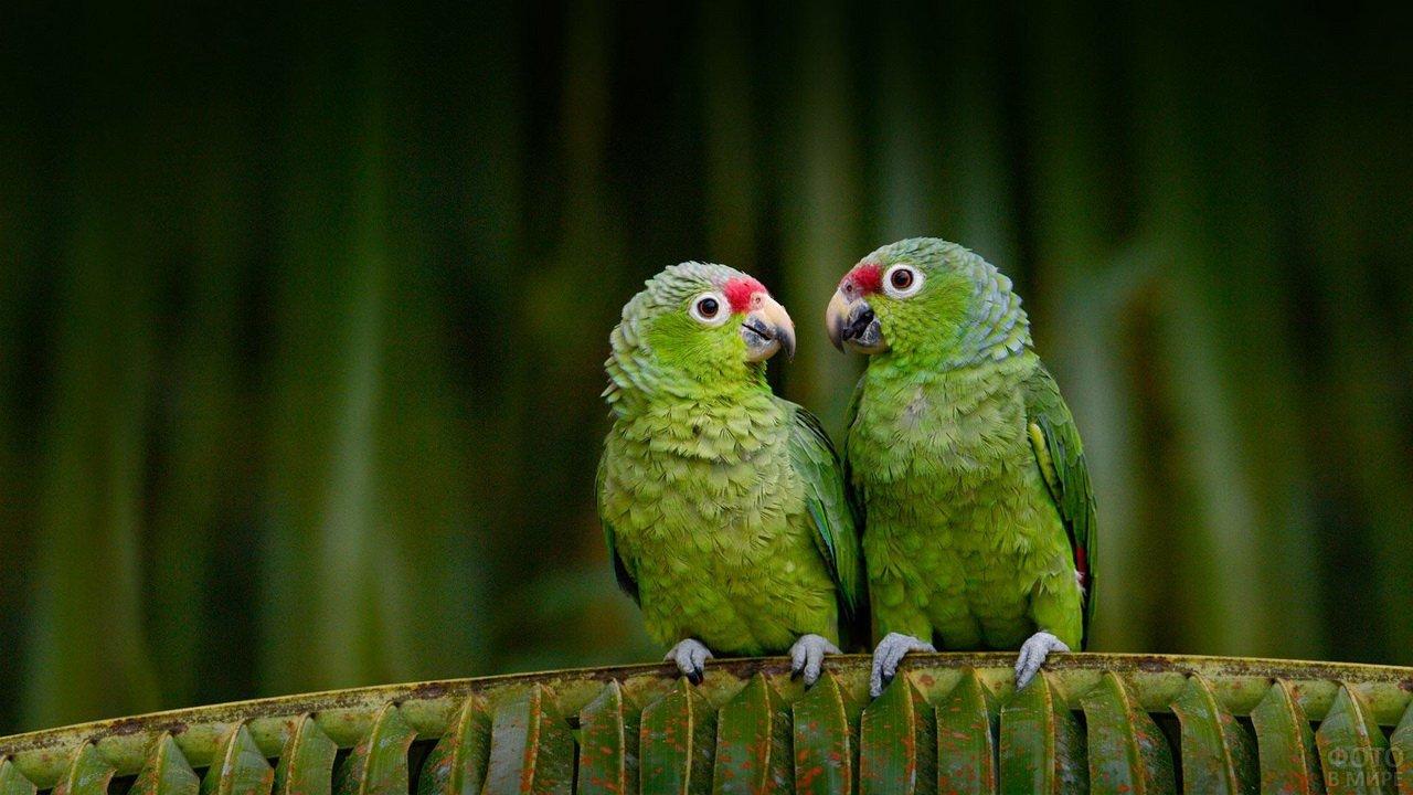 речь зеленые попугаи гифка один величайших