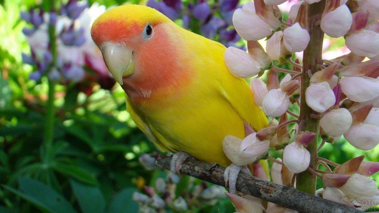 Жёлто-оранжевый неразлучник у цветущей ветки