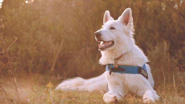 Белый пёс с синим ошейником на фоне леса