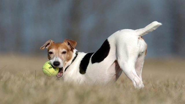 Джек рассел играет с мячом