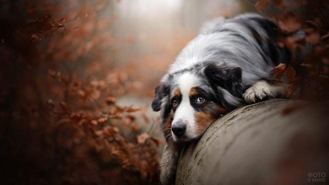 Грустный пёс лёжа на трубе о чём то задумался