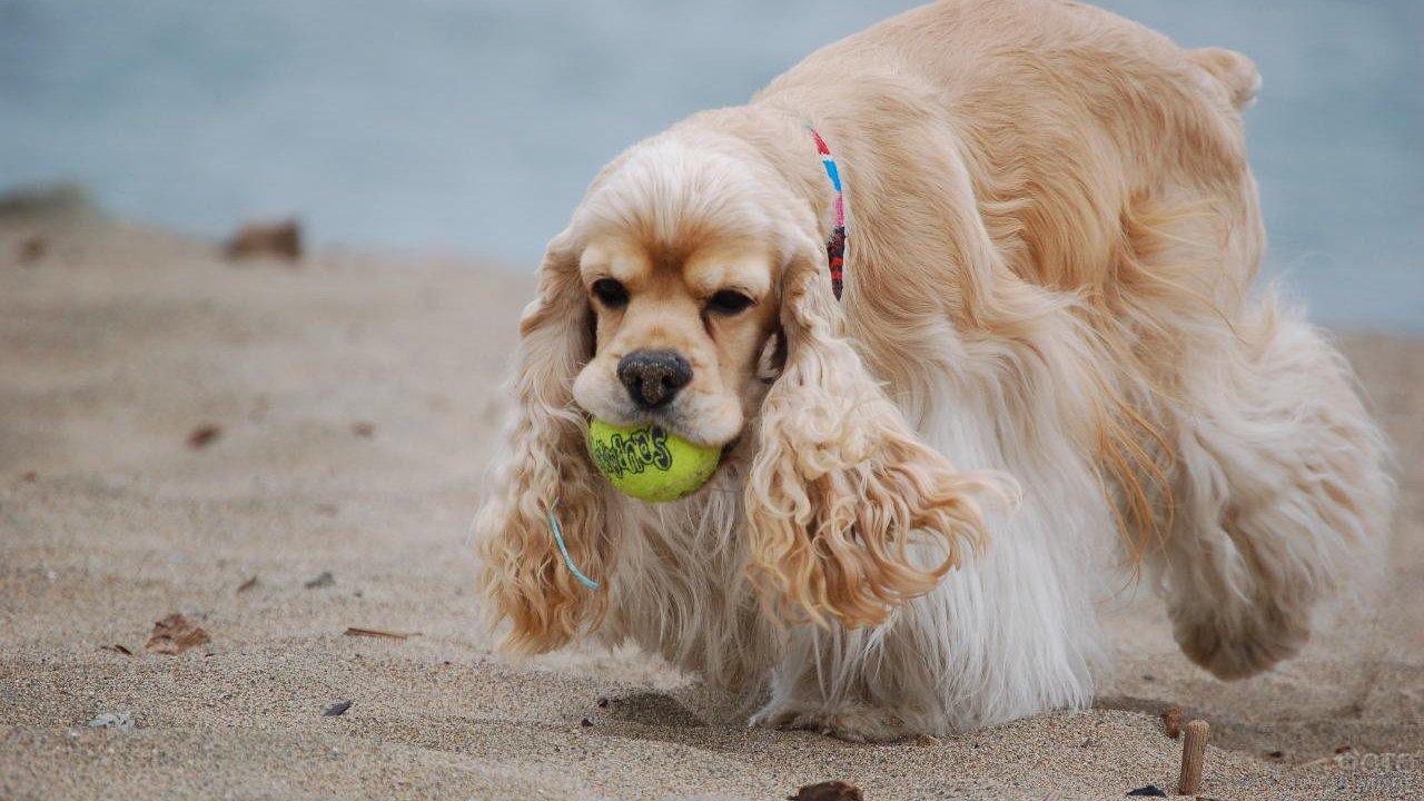 Кокер-спаниель играет с мячом на пляже