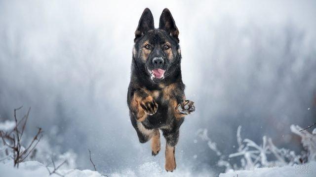 Немецкая овчарка вприпрыжку бежит по снегу