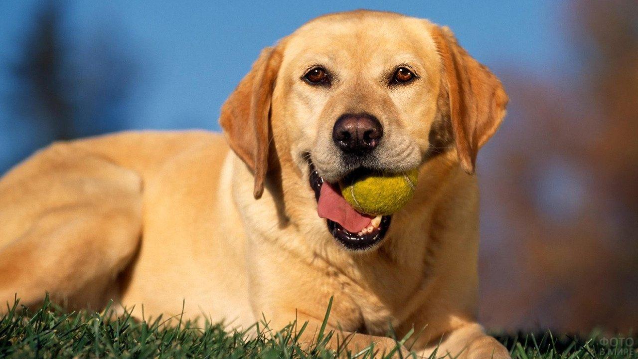 Пёс лежит с мячом в зубах