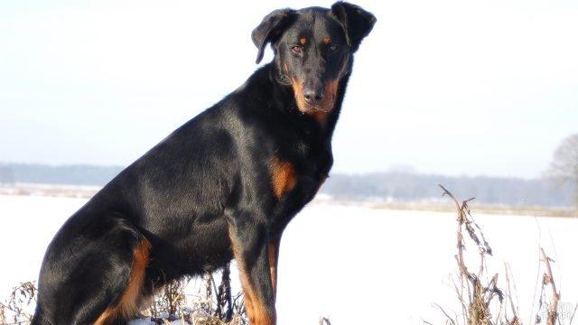 Собака на прогулке зимой